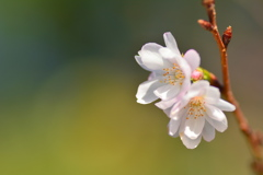 京都御苑の十月桜