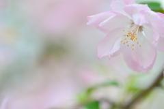 儚い春・ハナカイドウ