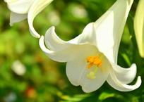 花壇のテッポウユリ