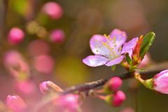庭梅咲き始め