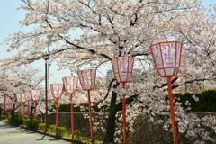 川端通の桜並木