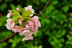 湊川神社の遅咲き桜