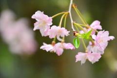 車折神社の桜2