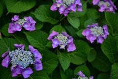紫陽花花盛り1