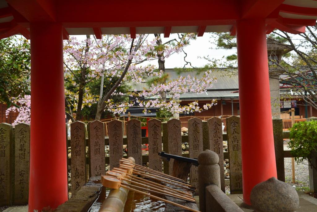 車折神社・手水舎の桜1
