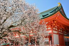平安神宮大極殿・左近の桜