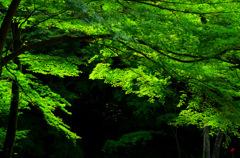 虎渓山境内の楓