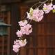 車折神社の桜5