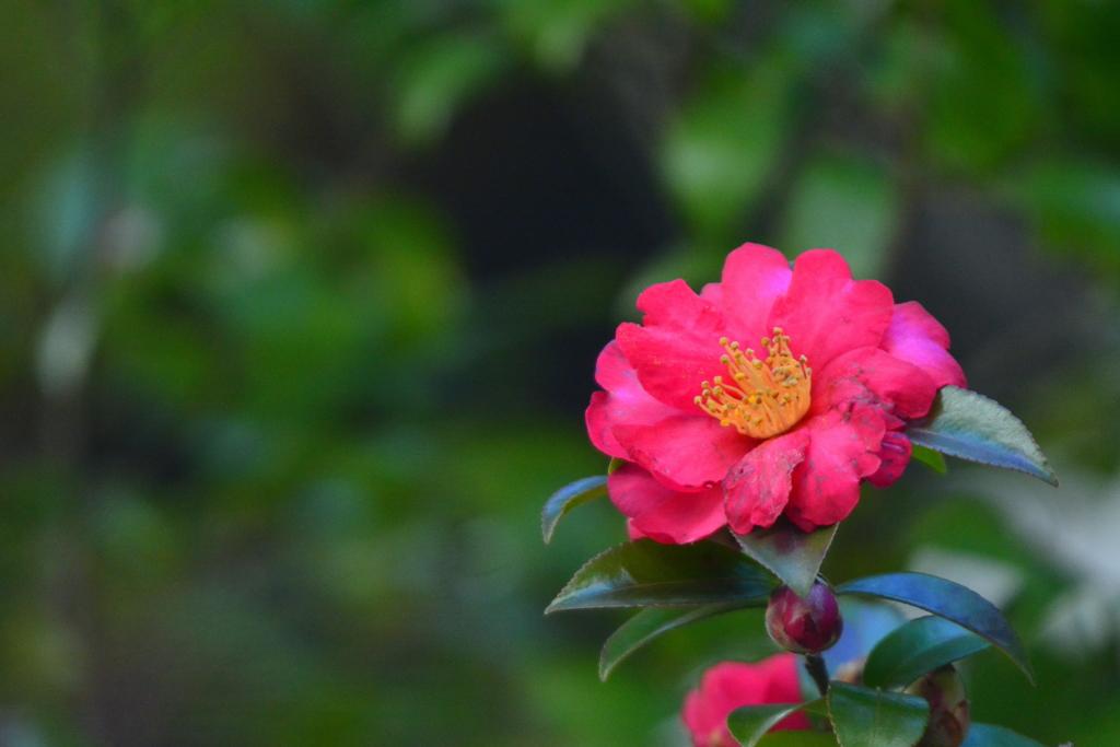 梨木神社の山茶花