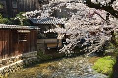 祇園白川の桜1
