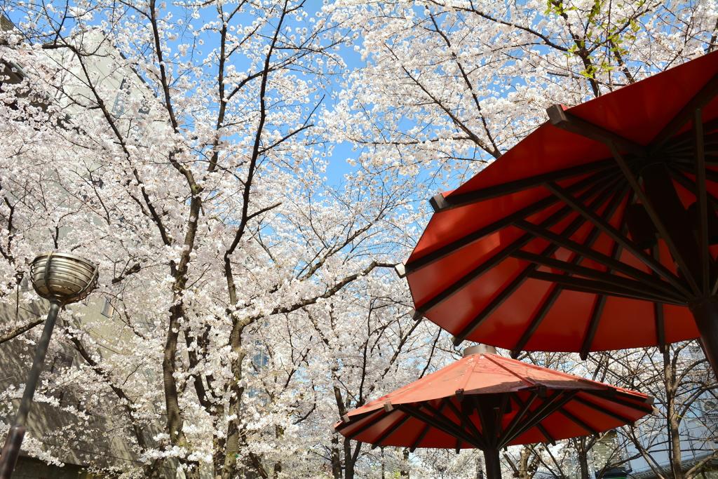 祇園白川の桜2