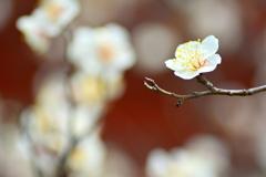 西院春日神社・早春の白梅