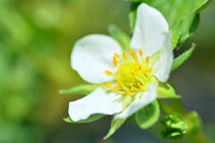 高原の苺の花