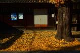 天道神社の銀杏