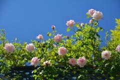 五月晴れの空に咲く