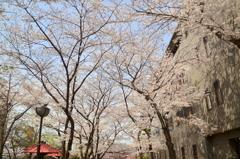 祇園白川の春3