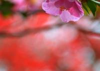 NIKON NIKON D7100で撮影した(宗像神社の山茶花と紅葉)の写真(画像)