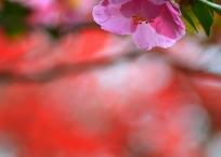 宗像神社の山茶花と紅葉