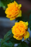 ご近所の黄色い薔薇