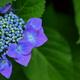 紫陽花花盛り2