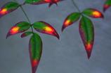 南天のカラフルな紅葉