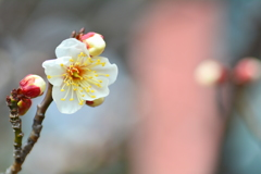 西院春日神社・真冬の梅2