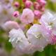 西院春日神社の八重桜1