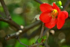 超遅咲きの木瓜