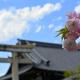 西院春日神社の八重桜2