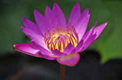 東輪寺に咲く蓮 3