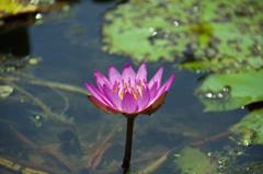 東輪寺に咲く蓮 1