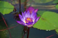 東輪寺に咲く蓮 2