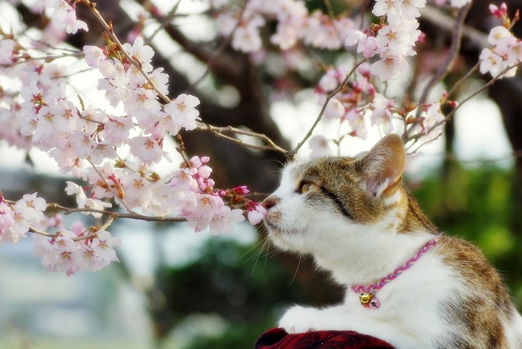 さくら猫 (goma)