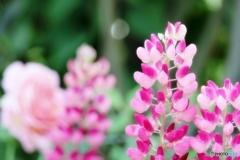 庭の花(ルピナス)