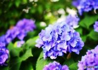 NIKON NIKON D7100で撮影した(庭の花 (アジサイ))の写真(画像)