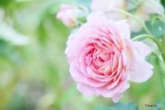 庭の花(バラ)