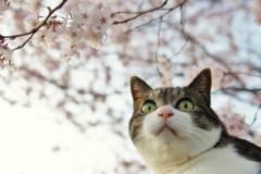 さくら猫 (sora)