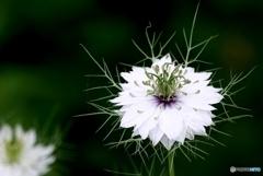 庭の花(ニゲラ)