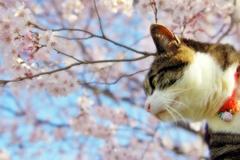 今年の桜と  (sora)