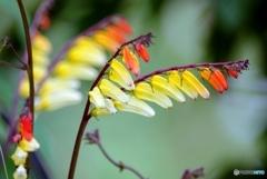 庭の花(ミナロバータ)