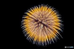 Fireworks (2018安曇野花火-5-)