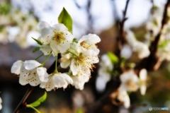 庭の花(スモモ)