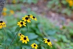 庭の花(ルドベキア タカオ)