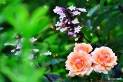 庭の花 (ペンステモンとバラ)