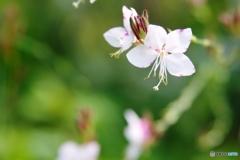 庭の花(ガウラ)