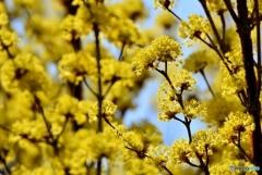 庭の花(サンシュユ)