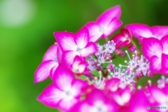 庭の花(ヤマアジサイ)