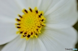 庭の花(コスモス)