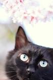 わが家のサクラと猫 (reo)