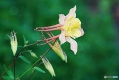 庭の花(オダマキ)